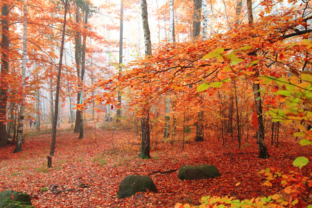red birch tree forest in the autumn