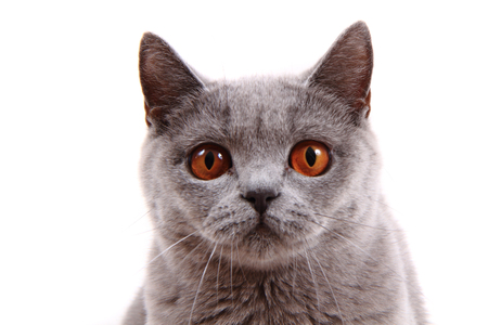 gray cat: british cat isolated on the white background