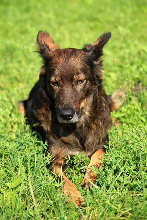 alsatian dog is resting in the green grass