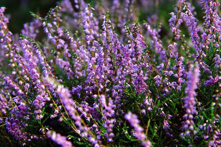 heather plant with violet flowers in the czech forest