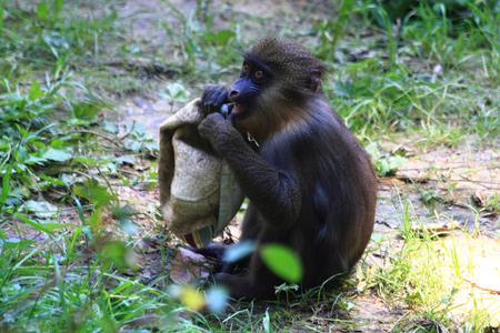 baboon monkey as nice and color animal Stock Photo