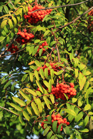 red rowan plant with fruits as nice natural background