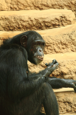 chimp monkey animal is resting at his home