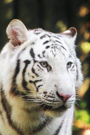 white tiger head as very nice wild cat