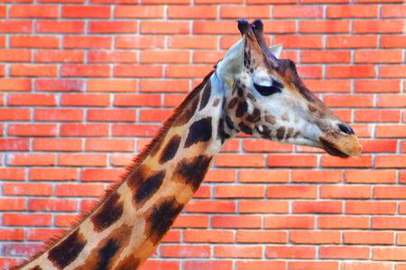 giraffe head on the orange brick background