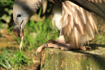 vulture bird is eating small chicken for breakfast Stock Photo