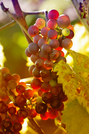 fresh red grapes as nice food background