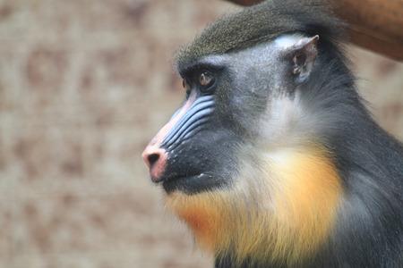 baboon monkey head as portrait of primate Stock Photo