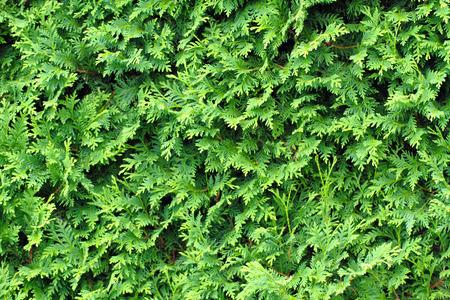 흰 시더 좋은 자연 배경으로 질감을 나뭇잎