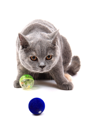 british gray cat isolated on the white background