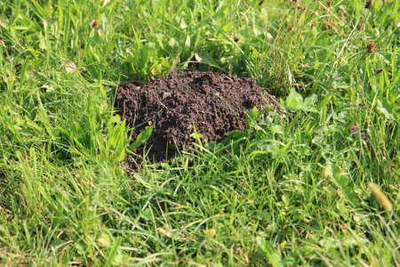 molehill in the green grass as nice natural background