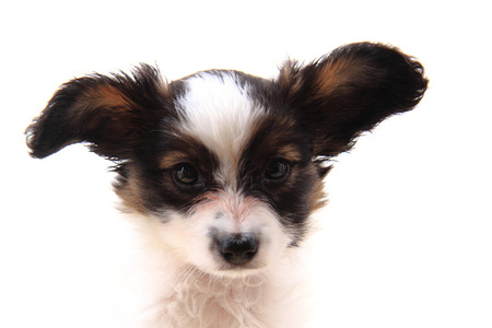 papillon dog head isolated on the white background Stock Photo