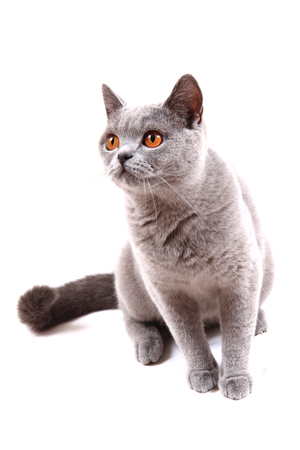 british cat isolated on the white background