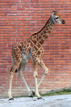 small giraffe on the orange brick background