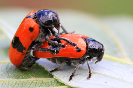 Two orange beetles are having intercourse in nature