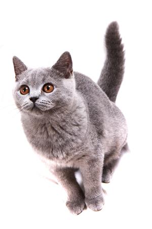 Britische Katze isoliert auf dem weißen Hintergrund Standard-Bild - 96231327