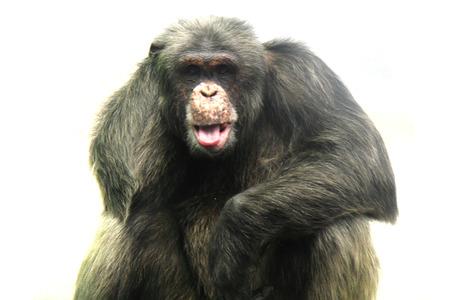 old chimpanzee isolated on the white background Stock Photo