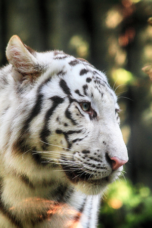 white tiger head as very nice wild cat