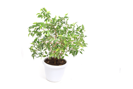 benjamina ficus plant isolated on the white background