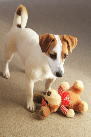 jack russell terrier and her small toy
