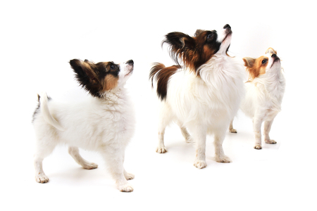small dogs papillons and chihuahua as friends Stock Photo