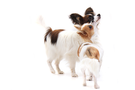 small dogs papillon and chihuahua as friends Stock Photo