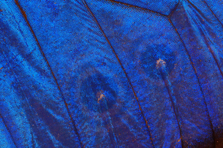 blue butterfly wing texture as very nice background