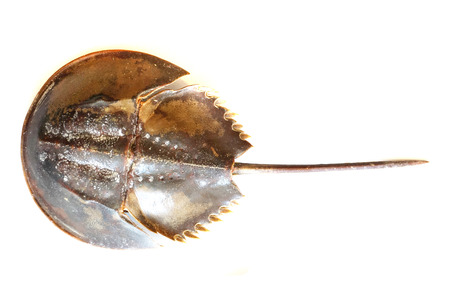 Atlantic horseshoe crab isolated on the white background