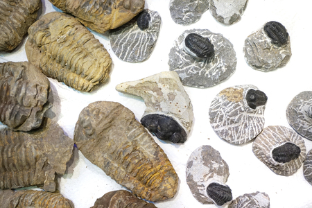 trilobite collection isolated on the white background