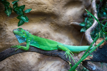 green iguana lizard from his animal home Фото со стока