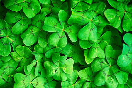 green four leaf texture as very mice background