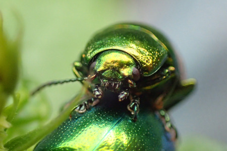 metal green beetle on the leaf background