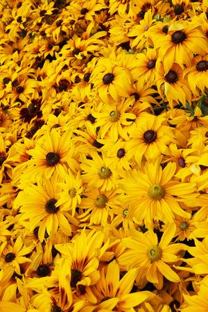Bright yellow rudbeckia as nice natural background Standard-Bild