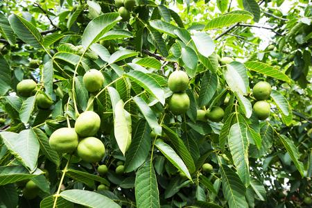 fresh green wallnuts tree as very nice natural background Foto de archivo