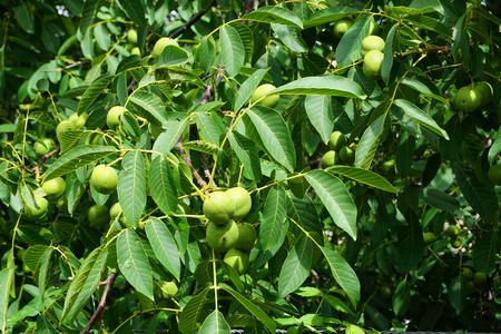 fresh green wallnuts tree as very nice natural background Stock fotó