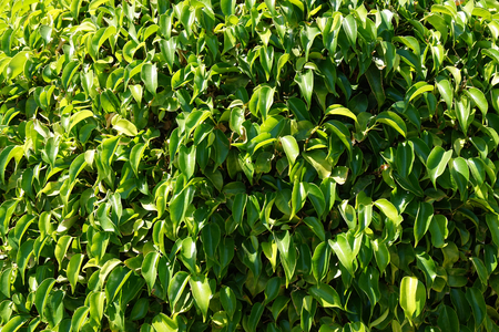ficus benjamina plant leaves texture as nice background