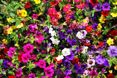 calibrachoa Million Bells as nice color flower background