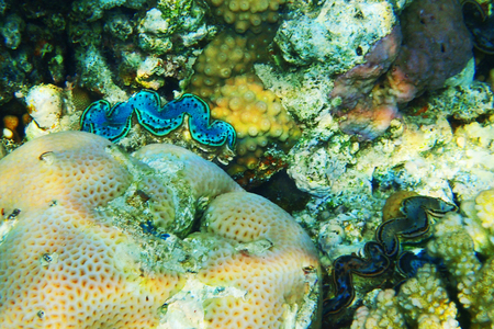 giant clam from egypt as very nice background
