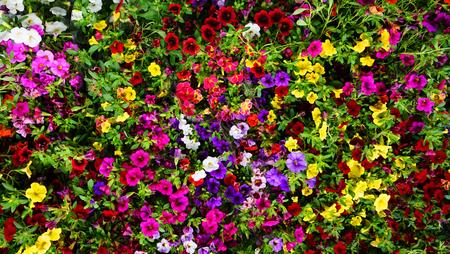 calibrachoa Million Bells as nice color flower background Stock Photo