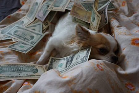sweet chihuahua is resting in the bed money Imagens