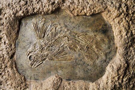 latimeria fish fossil as very nice history background Stock Photo