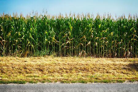Campo de maíz en la República Checa como fondo natural muy agradable