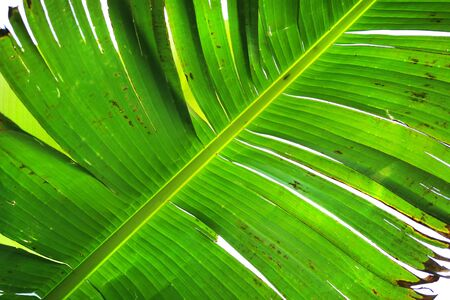banana leaf texture as very nice natural background 写真素材 - 129969361