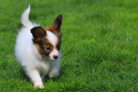 little puppy papilon dog in the green grass