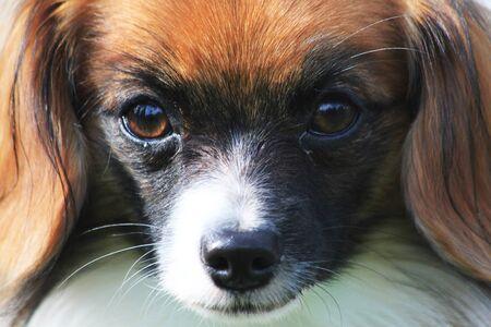 face of phalene dog as nice background