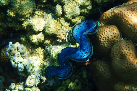 giant clam from egypt as very nice animal Фото со стока