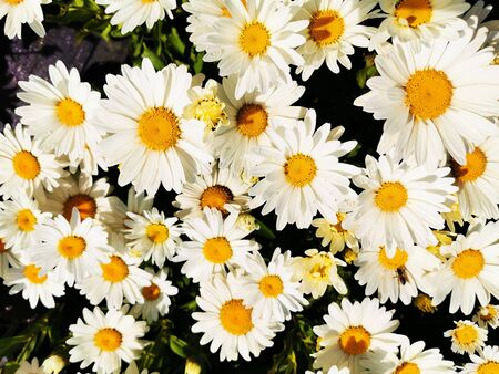 white pyrethrum plant texture as very nice natural background 스톡 콘텐츠