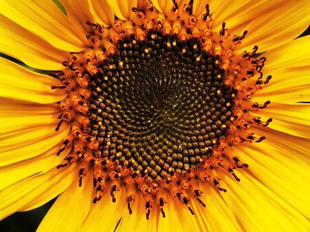 detail of sunflower as very nice natural background
