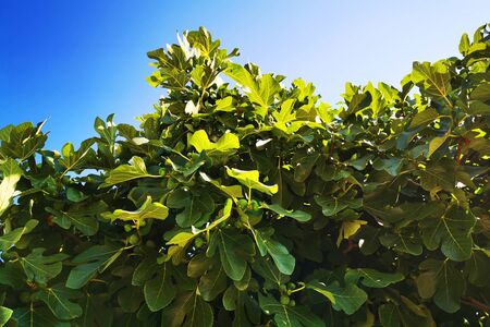 fig tree plant texture as very nice natural background 스톡 콘텐츠