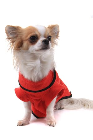 long hair chihuahua Violka dressed in new outfit